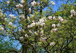 Caring For Your Magnolia Trees In Port Orange Fl