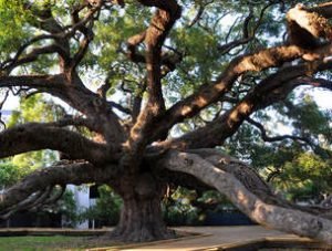 Oak Tree Trimming Port Orange