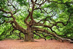 How Tall Can Oak Trees Get New Smyrna Beach