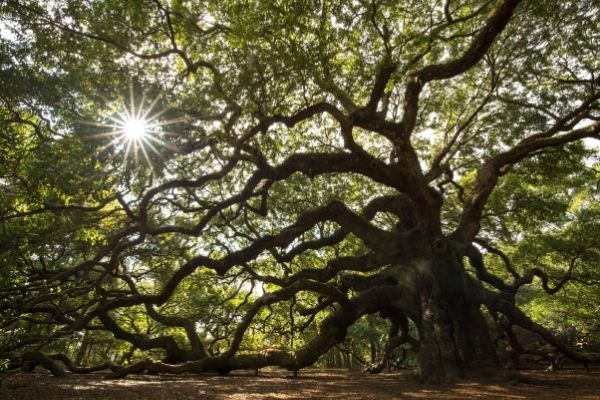 trmming oak trees port orange