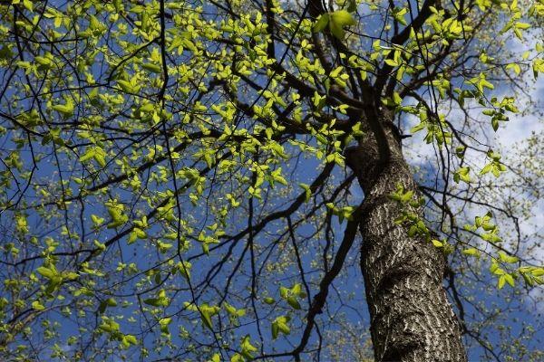 low maintenance shade trees